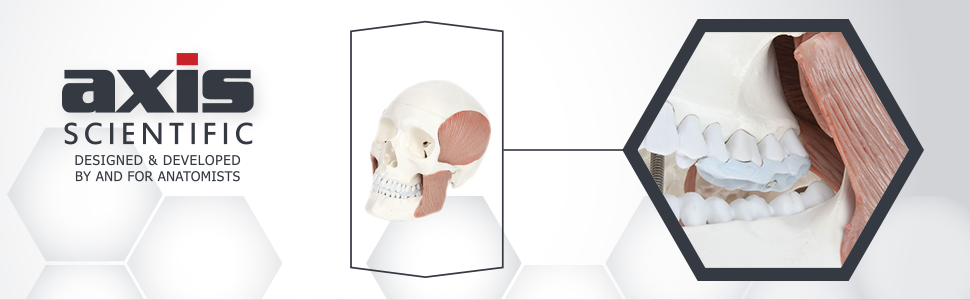 Axis Scientific Life-Size Human Skull with Masticatory Muscles Anatomy Model