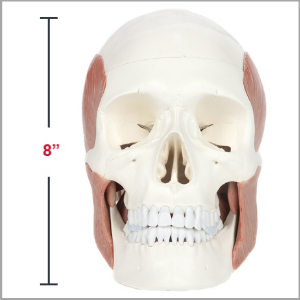 Axis Scientific Life-Size Human Skull with Masticatory Muscles Anatomy Model Dimensions 8 x 8 x 6 inches
