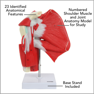 Axis Scientific Numbered Human Shoulder Joint with Muscles Anatomy Model Main Features.