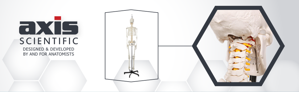 Axis Scientific Classic Life-Size Human Skeleton Anatomy Model with Study Booklet, Numbering Guide, and Hanging Stand