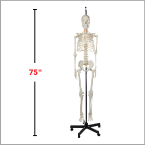 Axis Scientific Classic Life-Size Human Skeleton Anatomy Model Dimensions 75 x 18 x 18 inches