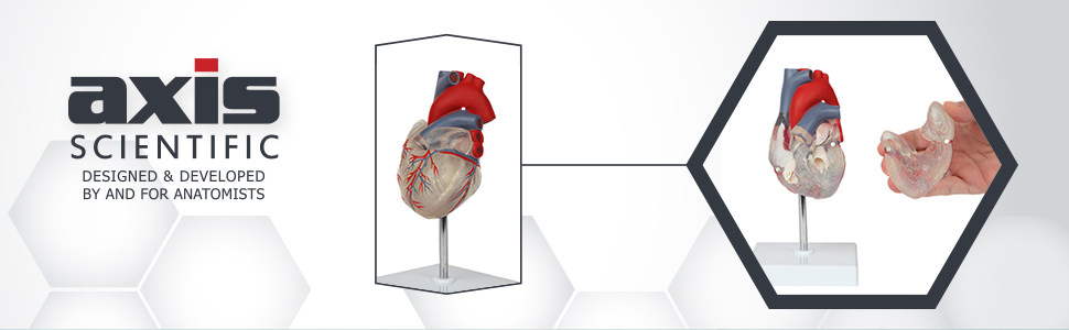 Axis Scientific Deluxe Life-Size 2-Part Transparent Human Heart Anatomy Model