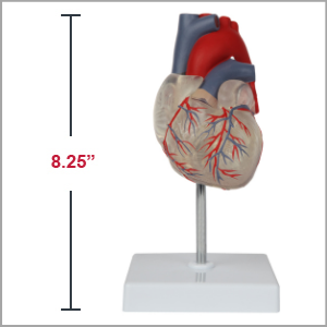Axis Scientific Deluxe Life-Size 2-Part Transparent Human Heart Anatomy Model Dimensions 8.25 x 4 x 3 inches.