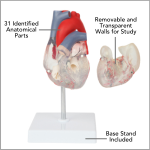 Axis Scientific Deluxe Life-Size 2-Part Transparent Human Heart Anatomy Model Main Features.