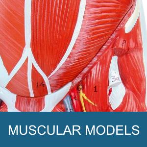 MUSCULAR MODELS