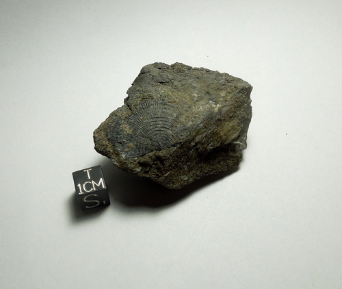 Brachiopod Fossil in Shale Matrix, Devonian, Catskills