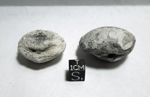 Fossil Calcite Clam Lot, Bone Valley, Peace River