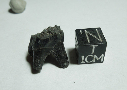 Fossil Deer Molar Tooth (Odocoileus sp), Peace River