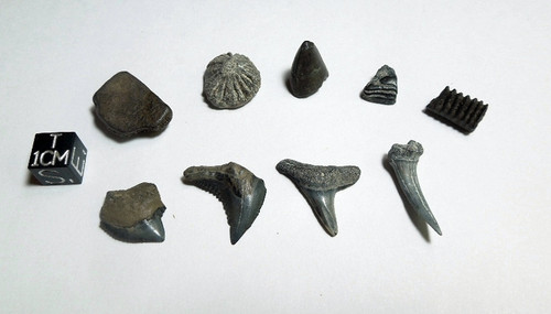 Florida Bone Valley Fossil Assortment, 9 Pieces plus Freebies