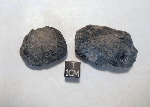 Fossil Bivalve Shell Lot of Two, Peace River, Miocene