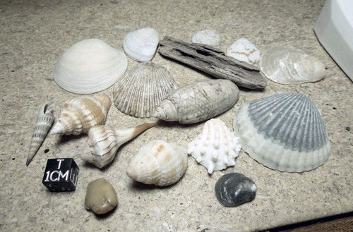 Florida Seashell Lot, 15 Premium Quality Shells