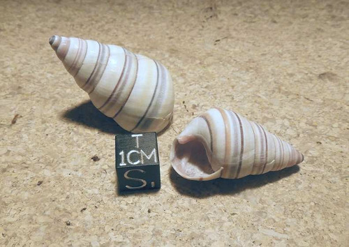 Land Snail Lot, Two Banded Snail Shells