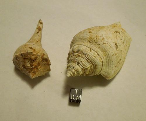 Fossil Gastropod Lot of 2, Strombus Floridanus and Sinistrofulgur