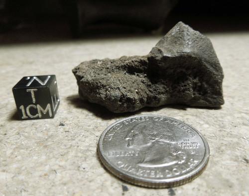 Giant Land Tortoise Fused Spur, Hesperotestudo sp, Pleistocene