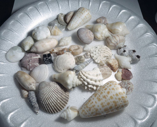 Florida Seashell Lot, Large Lot, Multiple Types