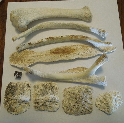 Alligator Bones Lot, Holocene, Peace River, Florida