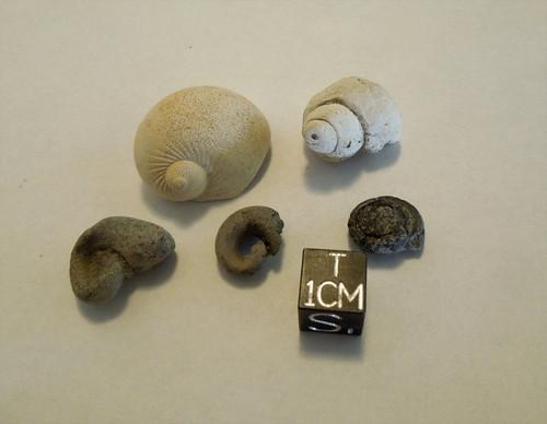 Fossil Gastropod Lot of Five, Bone Valley, Miocene