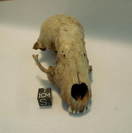 Pathological Specimen, Raccoon Skull, Bone Valley Florida