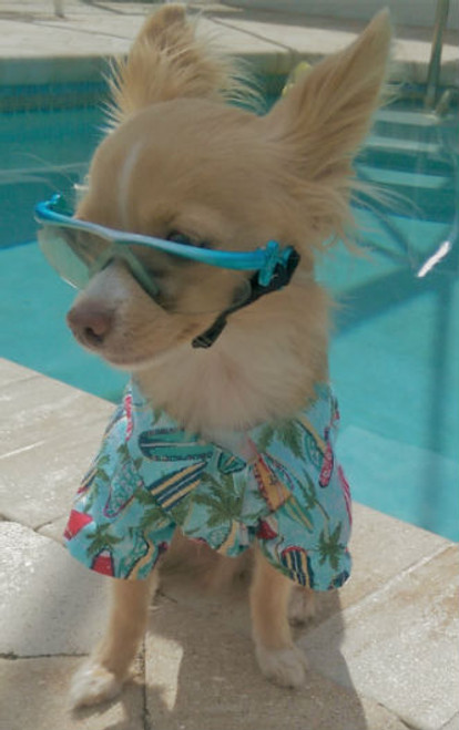 Milo loves his Hawaiian shirt!!