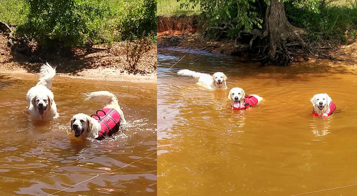 Susan Puckett – Woodstream English Goldens