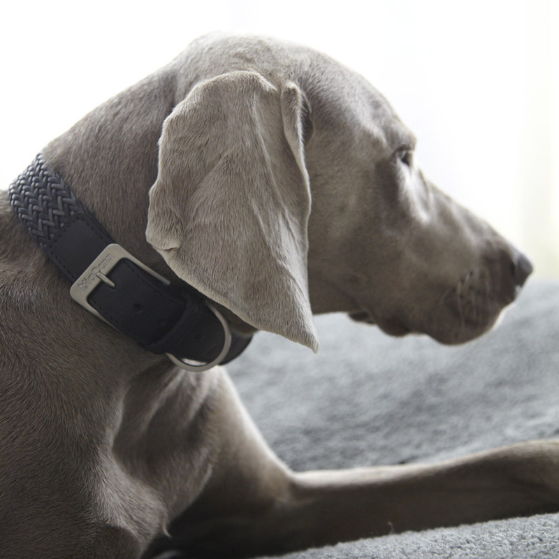 Dog Collar - Firenze Grey_Walk_Lifestyle Dog Model_www.hugoandotto.com
