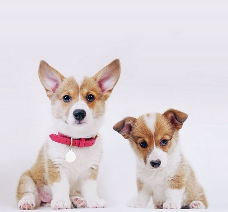 Dog Collar - Perry Street Pink_Walk_Lifestyle Corgi Puppies_www.hugoandotto.com