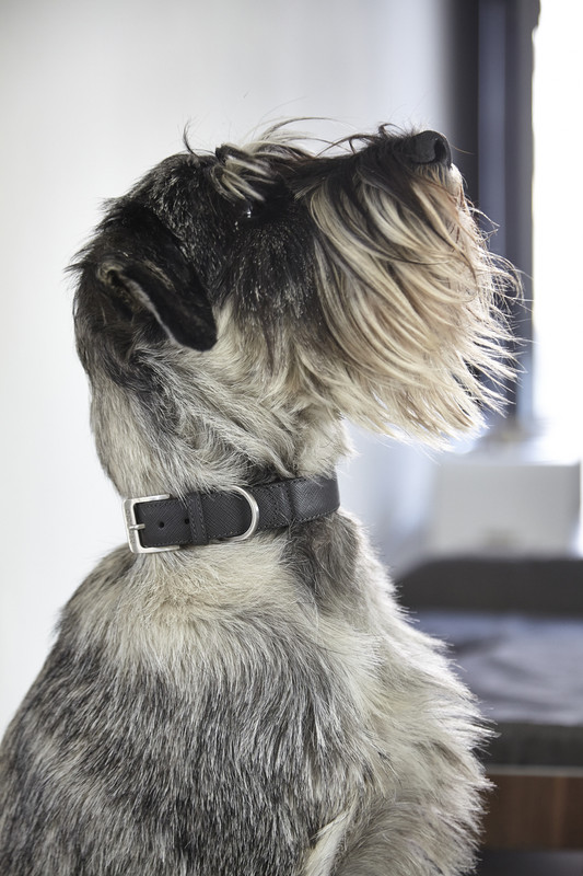 Dog Collar - Torino Graphite_Walk_Lifestyle_www.hugoandotto.com
