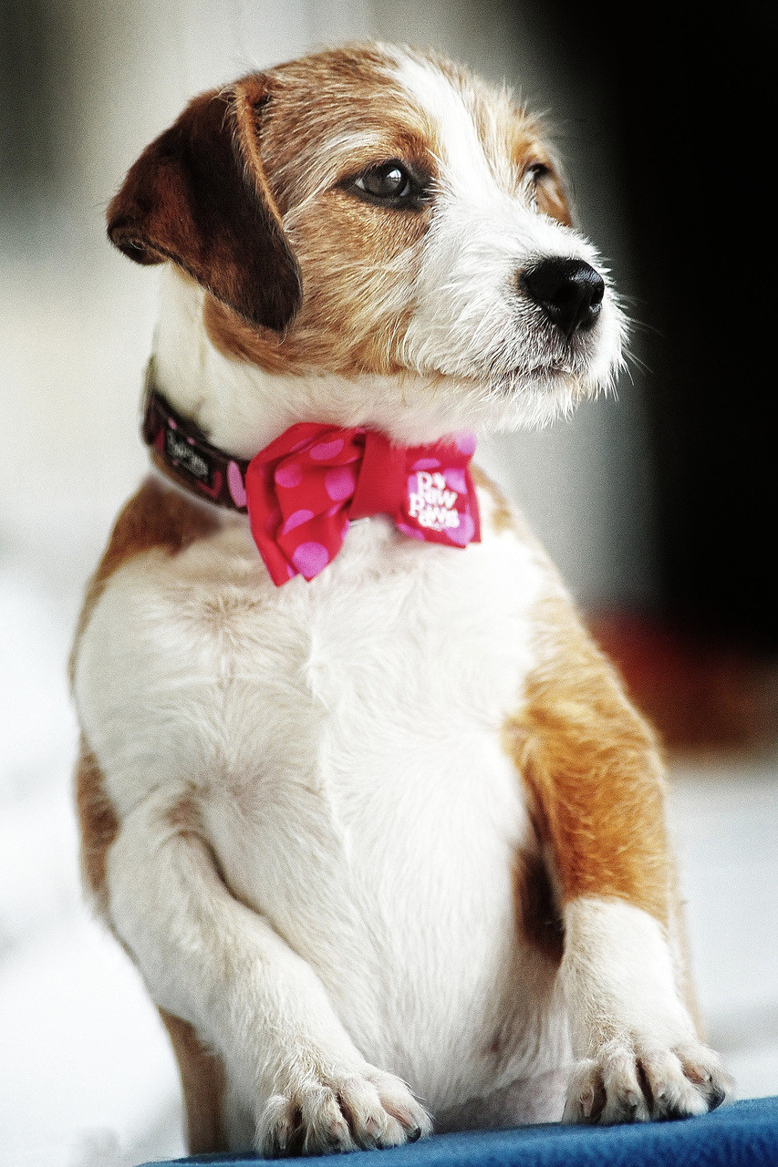 befdccb7af87 Bow Tie-Pink/Red Polka Dot - Paw Paws USA