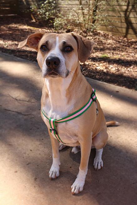 Prep School Dog Harness - Buffy