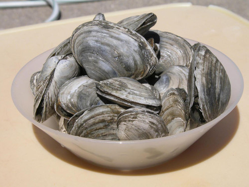 Clams - Maine Steamers