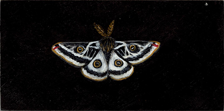 Greasewood Moth (Agapema galbina-SGCN)