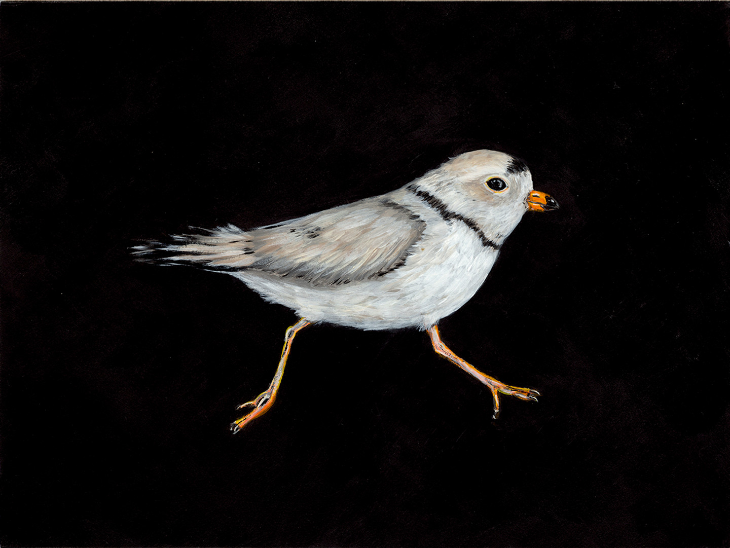Piping Plover (Charadrius melodus - Threatened)