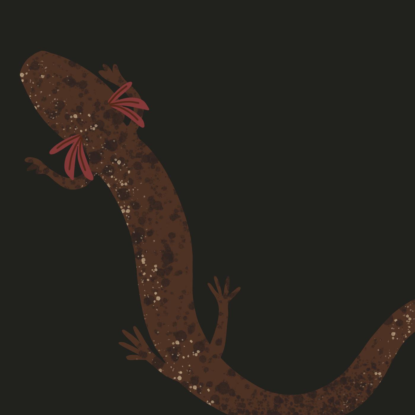 Jollyville Plateau Salamander (Eurycea tonkawae)