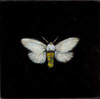 Tiger Moth (Pygarctia lorula-SGCN)