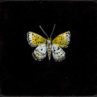 Chisos Metalmark (Apodemia chisosensis-SGCN)