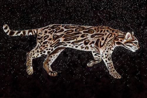 Ocelot (Leopardus Felis pardalis- Endangered)
