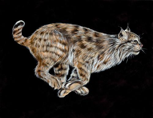 Bobcat (Lynx rufus texensis)