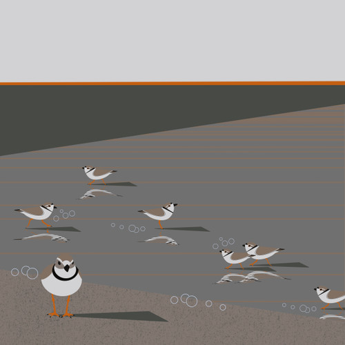 Piping Plover (Charadrius melodus)- Threatened
