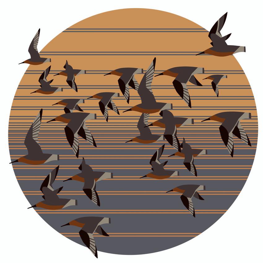 Rufa Red Knot (Calidris canutus rufa)- Federally Threatened Bird