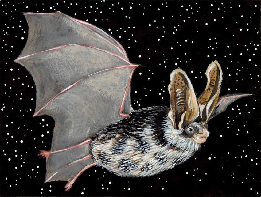 Meet the Threatened Spotted Bat (Euderma maculatum)