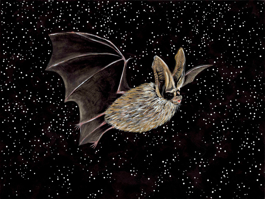 White-nosed syndrome art activism. Meet the Townsend's big-eared bat (Corynorhinus townsendii - SGCN)