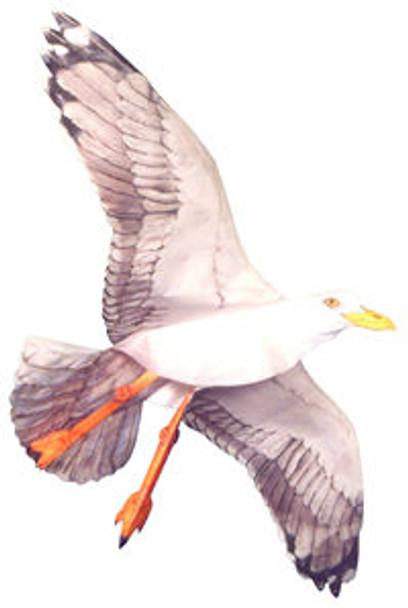 Jackite Seagull Kite
