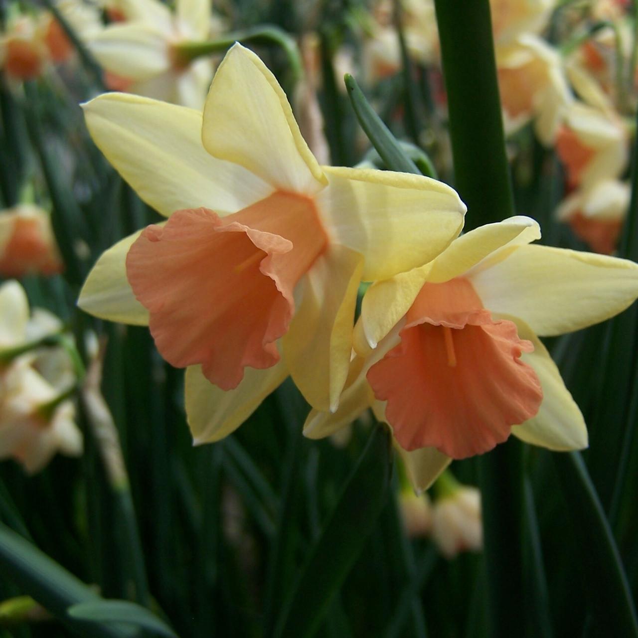 Division 7 - Jonquilla Narcissus