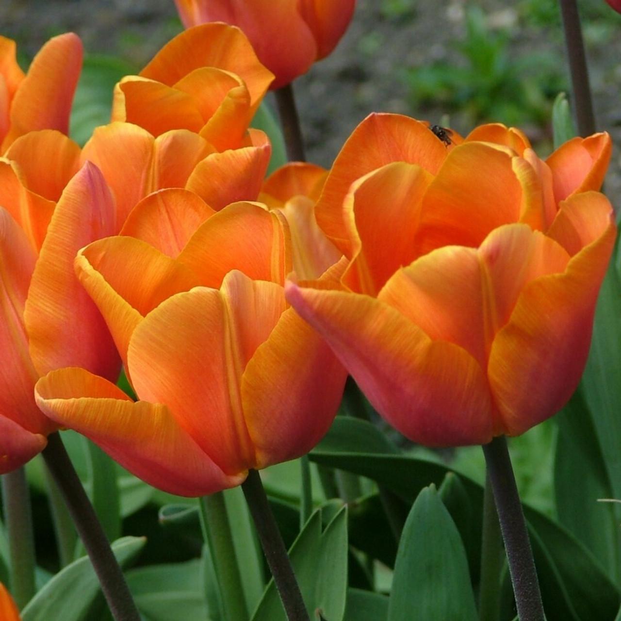 Division 3 - Triumph Tulips