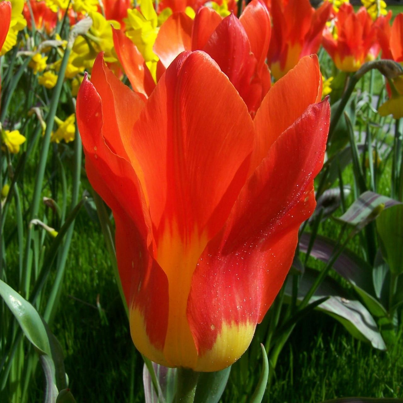 Division 13 - Fosteriana Tulips