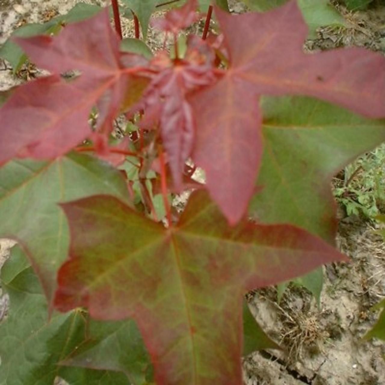 Acer virginicum rubrum
