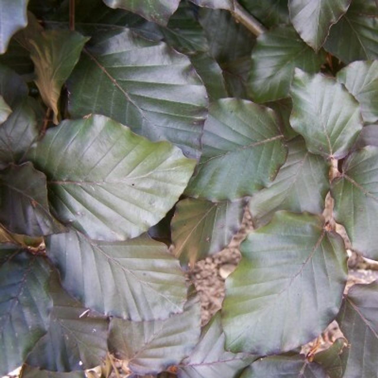 Fagus sylvatica Atropurpurea Group