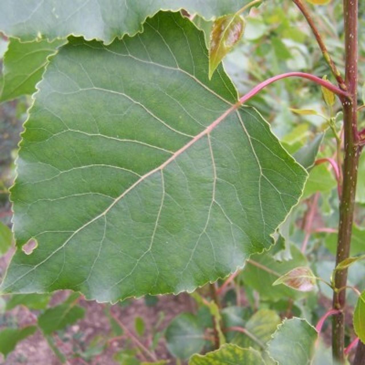 Populus x canadensis 'Serotina'