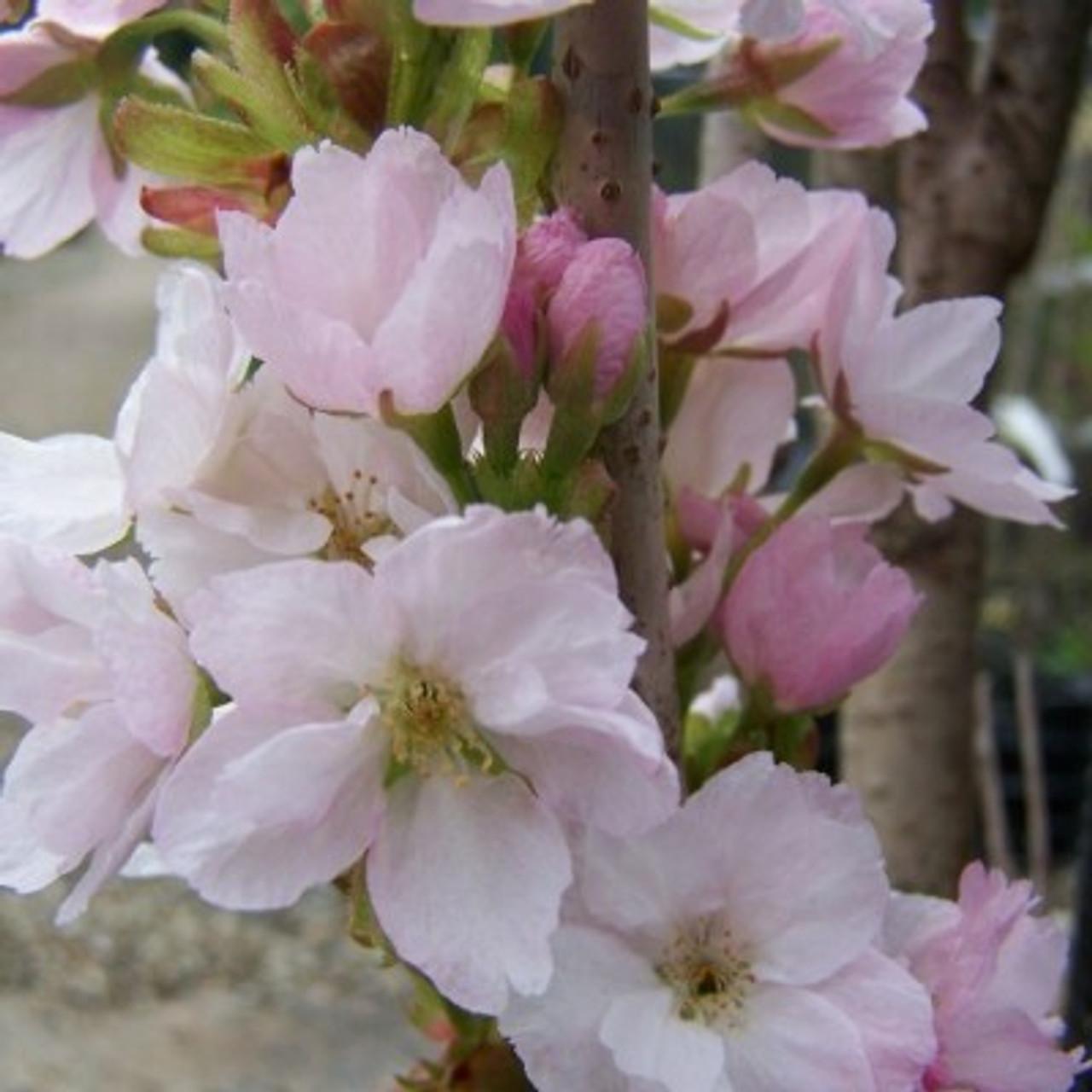 Prunus 'Amanogowa'