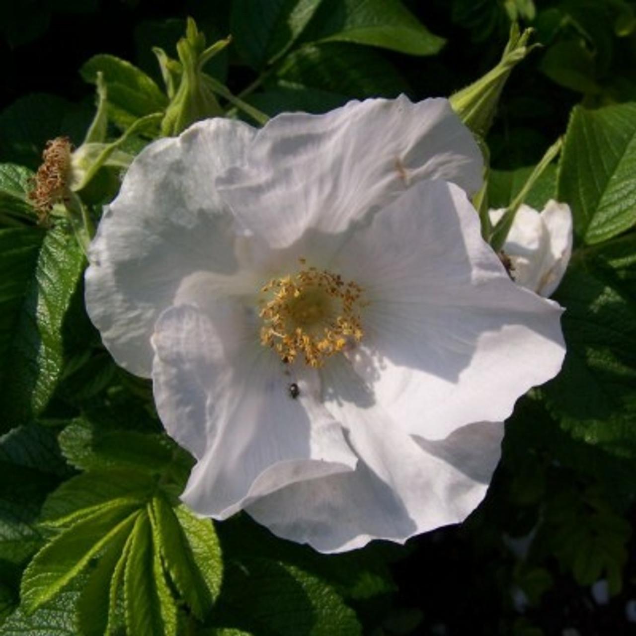 White Ramanas Rose